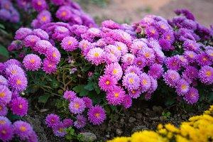 Beautiful purple chrysanthemum as