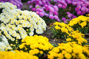 Abstract background of chrysanthemum
