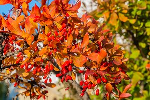 A bunch of bright red ripe barberry