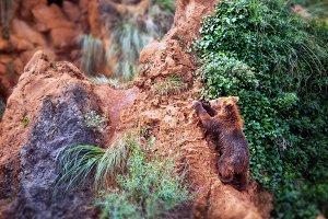 Baby bear climbing a rock