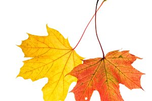 Autumn red yellow maple leaves isola