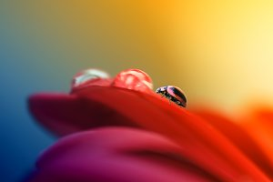 Ladybug above flowers and dew