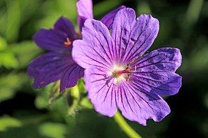 Purple Flower Geranium