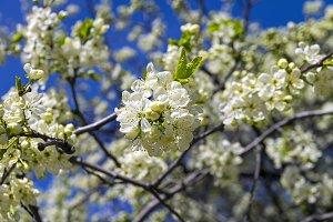 Flowering plum.