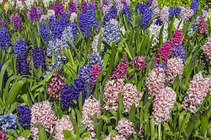 Flowerbed with blooming hyacinths.
