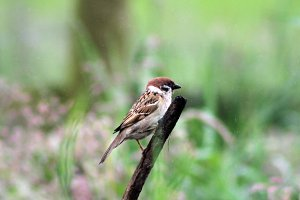 Bird Sparrow in Rain