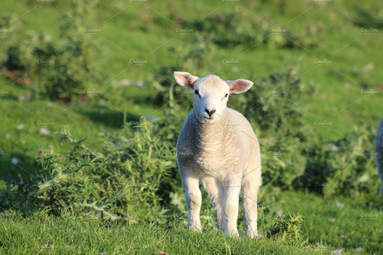 Cute Lamb High Quality Animal Stock Photos Creative Market