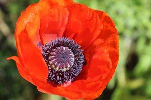Red Oriental Poppy Flower