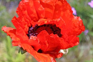 Red Oriental Poppy Flower