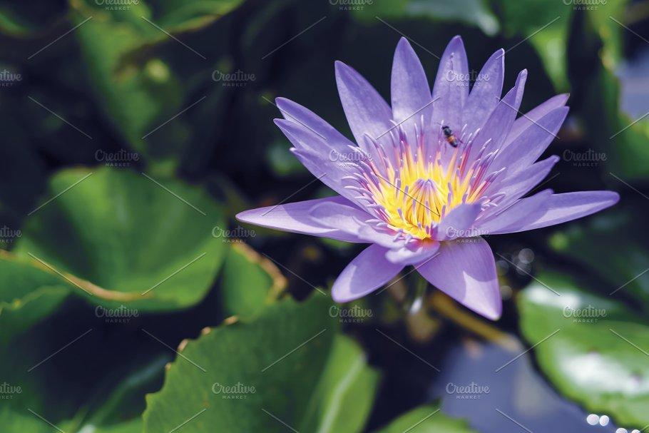 Violet lotus flower in pond nature photos creative market violet lotus flower in pond nature mightylinksfo
