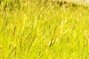Grass seeds heads