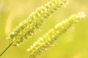 Grass Seed Heads