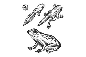 Frog embryo and tadpole animal
