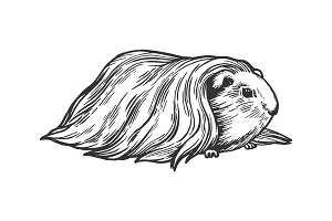 Guinea pig cavy animal engraving