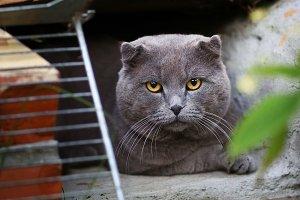 tom mail british scottish fold cat