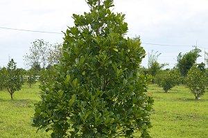 The jackfruit farm
