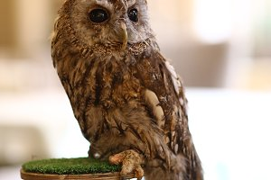 wild owl and filin close up photo as