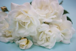 Close-up white roses on a soft blue