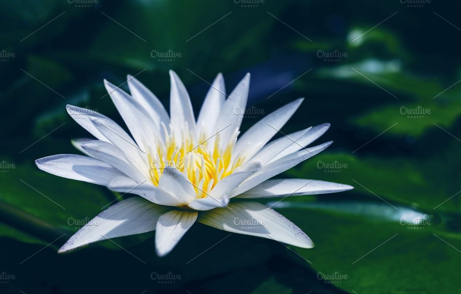 White lotus flower with green leaves nature photos creative market white lotus flower with green leaves nature mightylinksfo