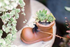 succulent in a shoe