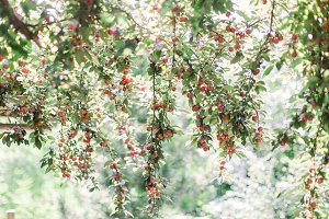 berry fruits on a tree