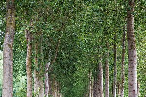 Country road lined by green trees