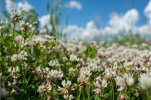 white clover wild meadow flowers in
