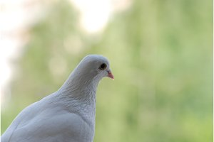 Proud white pigeon on a balcony over