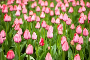 Close-up of pink tulips in a field