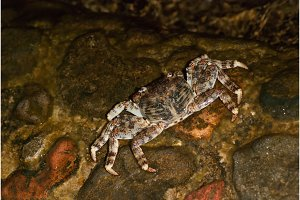 Wet sea crab on the stone at night