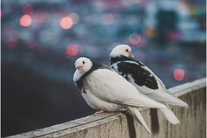 Couple of white doves on balcony in