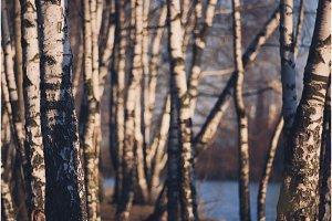 Birch trunks lighted evening