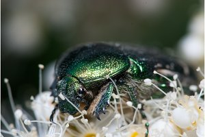 Green Chafer beetle on a white