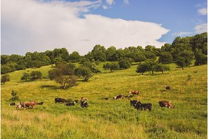 landscape with cows grazing on the