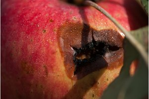 Red rotten wet Apple on a branch