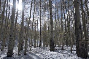 Winter Forest in Colorado