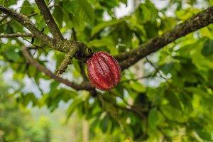 Cacao Tree Theobroma cacao. Organic
