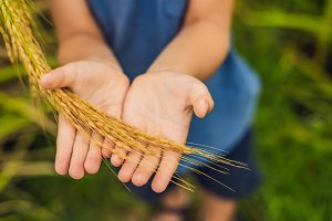 Ripe ears of rice in a child's hand