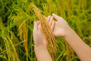 Ripe ears of rice in a woman's hand