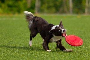 Border Collie breed dog for a walk o