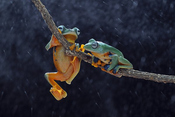 Animal Stock Photos - flying frog, frogs, tree frog,