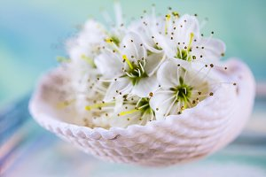 cherry blossom in a white shell on