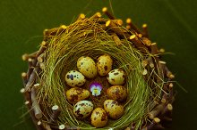 quail eggs in a wooden nest on gre