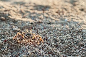 One crab on the sand close up