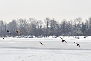 flock of ducks flying over the icy r