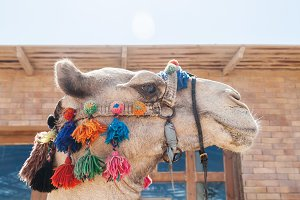 The decorated head of a camel, close