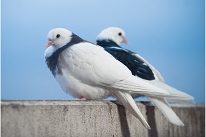 two lovers white and black doves on