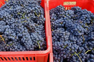 Blue grapes in red crates