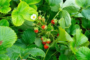 Bright wild strawberries with leaves