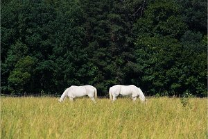 two white horses graze in a paddock